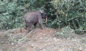 Saber, the pygmy elephant in Borneo