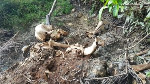 Remains of pygmy elephant found in Borneo
