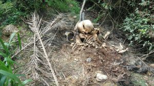 Remains of pygmy elephant