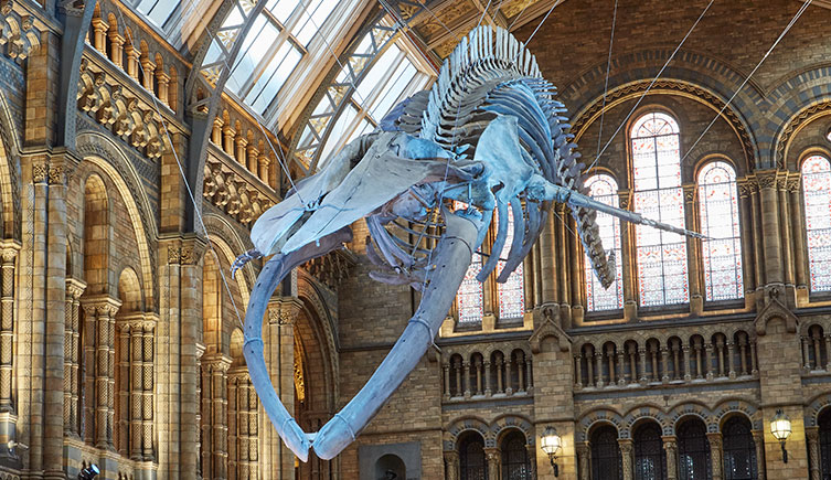 Blue Whale Museum of Natural History London